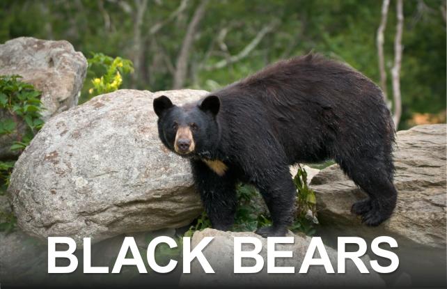 Black Bears | Great Smoky Mountains National Park