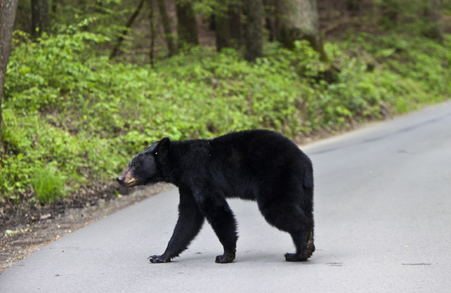 Black Bear Walking on the Road | Great Smoky Mountains National Park