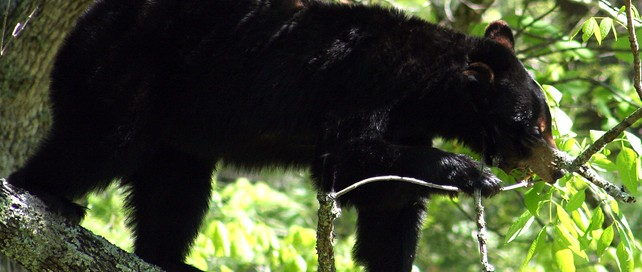 See Black Bears   Cades Cove   Great Smoky Mountains National Park