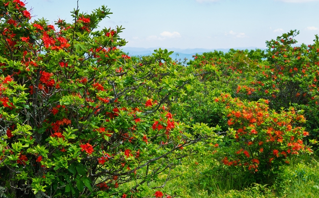 Flame Azaleas on Gregory Bald | Great Smoky Mountains National Park