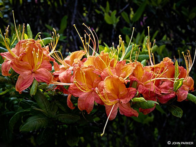 Flaming Azaleas | Andrews Bald