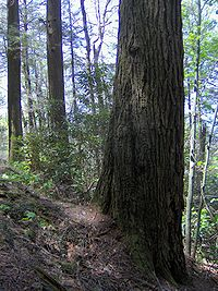 Albright Grove Loop Trail   Old Growth Tree   My Smoky Mountain Guide