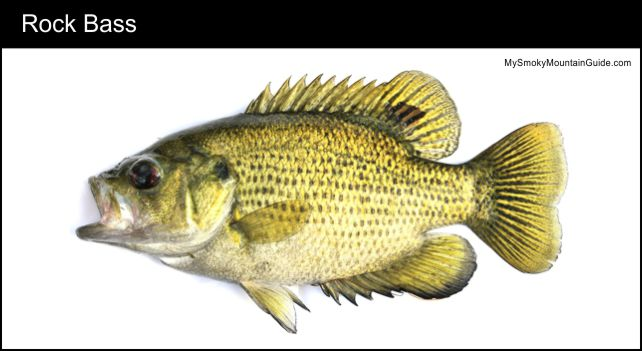 Rock Bass | Fishing | Great Smoky Mountains National Park | My Smoky Mountain Guide