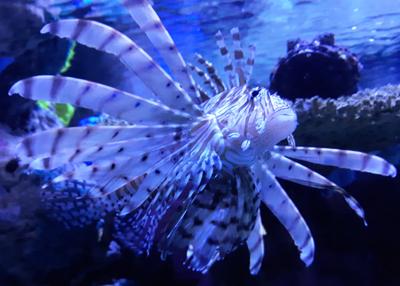 Lion Fish at Ripley's Aquarium of the Smokies | Gatlinburg, TN