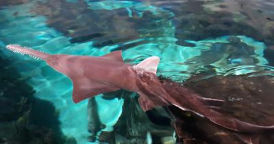 Saw Fish at Ripley's Aquarium of the Smokies | Gatlinburg, TN